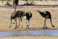 Group of ostriches at a waterhole in the dry desert looking for food Stock Photo