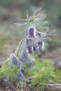 Group of pasqueflowers in early blossom Royalty Free Stock Photo