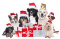 Group of pedigree dogs with christmas gifts with santa hats Royalty Free Stock Photo