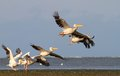 Group of pelicans taking flight at sahalin island danube delta Royalty Free Stock Photos