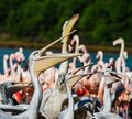 Group of pelicans waiting and catching their food, fish, dinner Royalty Free Stock Photo