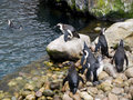 Group of penguins playing Royalty Free Stock Photos