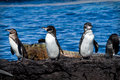Group of penguins on a rock in the galapagos with an iguana background islands ecuador Stock Image