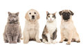 Group of pets, puppy dogs and adult cats Royalty Free Stock Photo