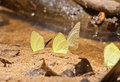 Group of pieridae butterfly gathering water Royalty Free Stock Image