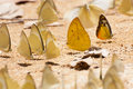 Group of pieridae butterfly gathering water Stock Image