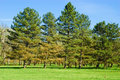 Group of pine trees Royalty Free Stock Photo