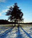 Group of pines in counter light Royalty Free Stock Photo