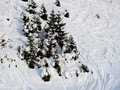 Group of pines on snowy track. Royalty Free Stock Photo