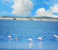 Group of pink flamingos in Sardinia Royalty Free Stock Photo