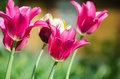 Group of pink tulips in a garden on bed Stock Images