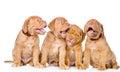 Group Playful Bordeaux Puppy D...