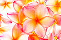 Group of plumeria Royalty Free Stock Image