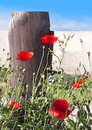 Group poppies next to fence useful as summer happiness concept Royalty Free Stock Photos