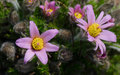 Group of purple blossoms with yellow center natural habitat on closeup detail on rocky steppe Royalty Free Stock Photo