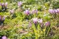 Group of Purple crocus (crocus sativus) with selective/soft focu Royalty Free Stock Photo