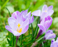 Group of purple crocus crocus sativus with selective soft focu focus and diffused background in early spring Stock Photos