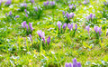 Group of purple crocus crocus sativus with selective soft focu focus and diffused background in early spring Stock Photography