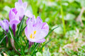 Group of purple crocus crocus sativus with selective soft focu focus and diffused background in early spring Royalty Free Stock Photos