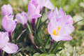 Group of purple crocus crocus sativus with selective soft focu focus and diffused background in early spring Royalty Free Stock Photo