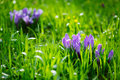 Group of Purple crocus crocus sativus with selective/soft focu Royalty Free Stock Photo
