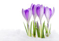Group of purple crocuses Stock Photography