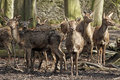 Group of red deer hinds in winter coat attentive cervus elaphus standing the forrest Stock Photos