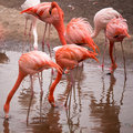 Group of red flamingo searches for food Royalty Free Stock Photo