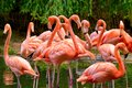 Group of red flamingos at the water with green foliage in the background Stock Photo