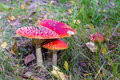 Group of red toadstools in grass Royalty Free Stock Image