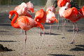 Group of resting  pink flamingos Royalty Free Stock Image