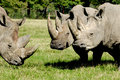 Group of rhino are standing and looking on green grass Royalty Free Stock Photos