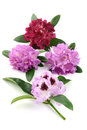 Group of rhododendron flowerheads on white background isolated Royalty Free Stock Photography