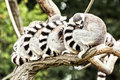 Group Of Ring-tailed Lemurs (L...