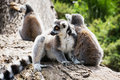 Group of ring tailed lemurs resting on the tree trunk lemur catta Stock Photography