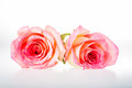 Group of rose isolated on white background Stock Photography