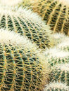 Group of round cacti Royalty Free Stock Photography