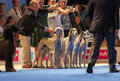Group of saluki dogs at dog show july th paris france in the ring the world Stock Image
