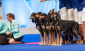 Group of saluki dogs at dog show july th paris france in a stack the world Stock Photography