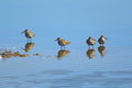 Group of sandpipers feeding in shallow water Royalty Free Stock Photo