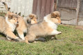 Group of Scotch Collie puppies running together Royalty Free Stock Photo
