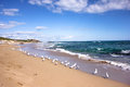 Group of Seagulls near beach in Penguin Island in Perth,Western Australia Royalty Free Stock Photo