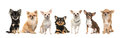 Group of seven chihuahua dogs facing the camera isolated on a white background
