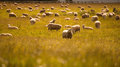Group of sheep in farm south island new zealand eat grass Stock Images