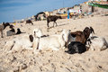 Group sheeps relaxing on the beach of saint louis in senegal with a blue sky and people in background senegal Stock Photo