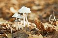 Group of small white mushrooms Royalty Free Stock Photo