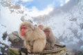 Group of snow monkey sitting on a piece of wood Royalty Free Stock Images