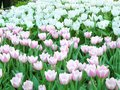 group of soft pink and white tulips flowers Royalty Free Stock Photo