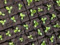 Small sprouts of lettuce