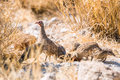Group of a Swainson`s Spurfowls in drought african savanna Royalty Free Stock Photo